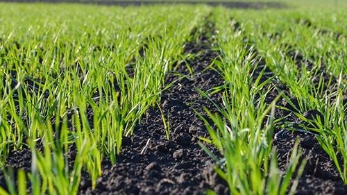 Защита зерновых ранних сроков сева от «UKRAVIT» фото, иллюстрация