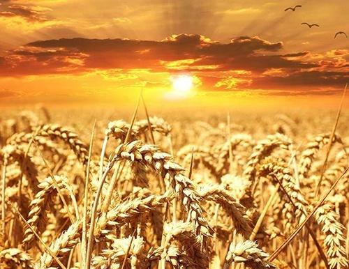 Площадь зерновых и зернобобовых в Украине под урожай-2019 превысила 15 млн. га, – Госстат фото, иллюстрация