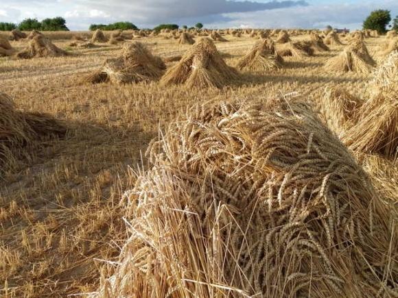 Пшеница 2016 худшего качества - эксперт фото, иллюстрация