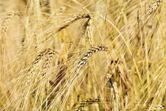 Минэкономики может ограничить экспорт пшеницы из Украины — эксперты  фото, иллюстрация