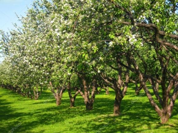 Заморозки в Італії пошкодили яблуневі сади, а також кісточкові фото, ілюстрація