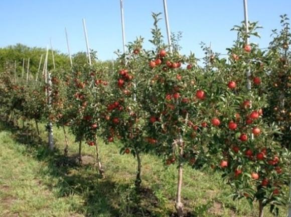 Садівники України почали збирати ранні яблука фото, ілюстрація