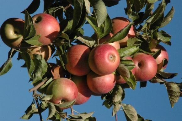 Які сорти яблук найбільш прибуткові? фото, ілюстрація