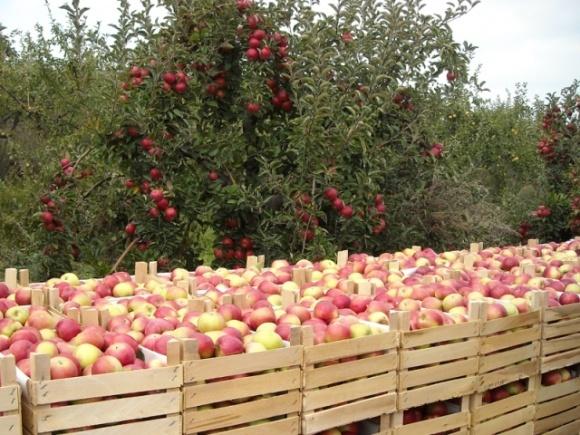 Худший показатель за пять лет: экспорт украинских яблок из-за коронавируса сократился на 38% фото, иллюстрация