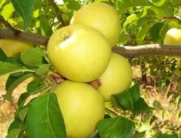 Отечественный ученый разработал инновационную систему защиты яблони от парши фото, иллюстрация