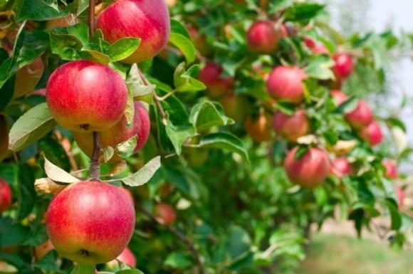 На Днепропетровщине в интенсивных садах собирают по 1,5 т/день яблок фото, иллюстрация