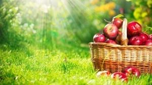 Стійкі до парші яблука вивели в Польщі фото, ілюстрація