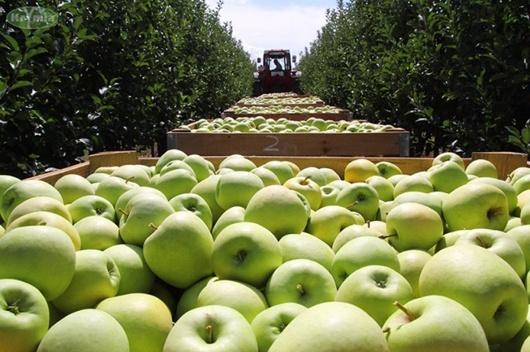 Украинские яблоки дорожают, а количество качественной продукции - ограничено фото, иллюстрация