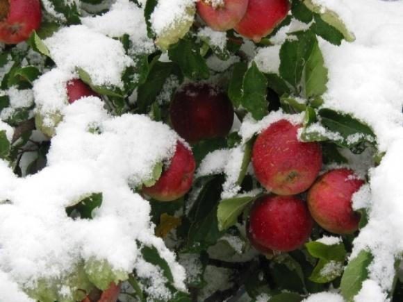 Малиновые яблоки в заснеженных Альпах стали визитной карточкой сорта фото, иллюстрация