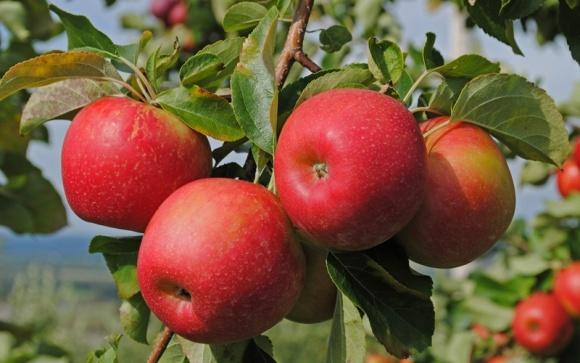 Плодоовощная ассоциация создает объединение производителей и экспортеров яблок фото, иллюстрация