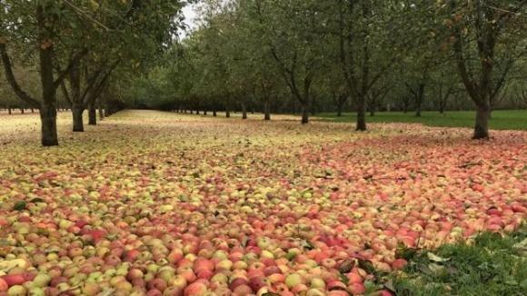 На Дніпропетровщині яблука залишаться незібраними фото, ілюстрація