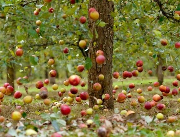 Из-за чего погибают плоды на деревьях? фото, иллюстрация