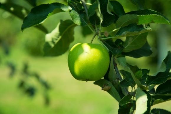 Яблучний прорив України фото, ілюстрація