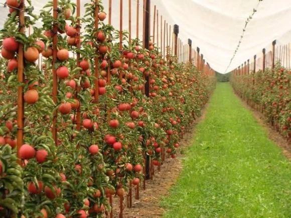 В Інституті садівництва виявили найстійкіший до посухи сорт яблуні фото, ілюстрація