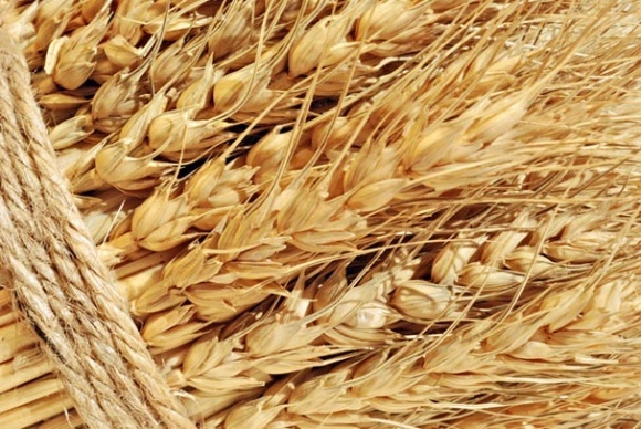 «Мрія» використає для сівби власне якісне насіння ярого ячменю фото, ілюстрація