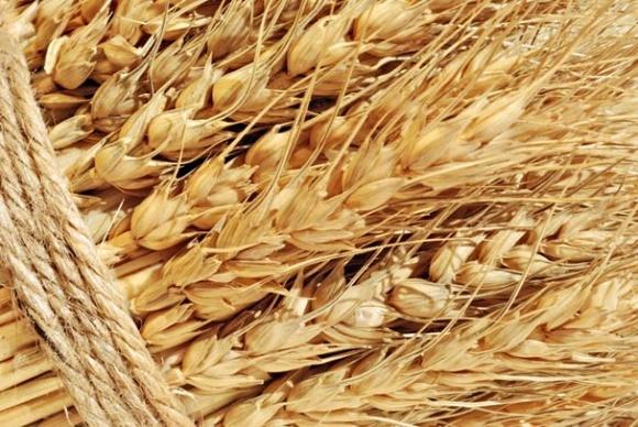 «Мрия» использует для посева собственные семена ярового ячменя фото, иллюстрация