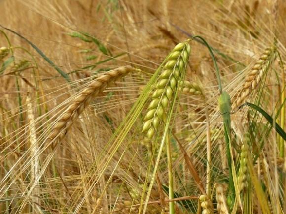 «Прометей» планує отримати рекордну врожайність озимого ячменю фото, ілюстрація