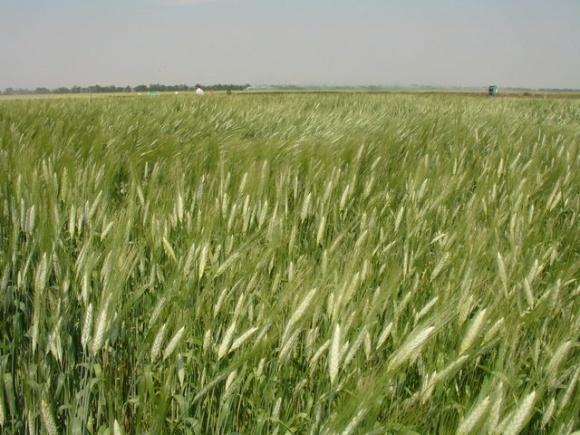 FAO оприлюднила перший прогноз світового виробництва пшениці в 2020 році фото, ілюстрація