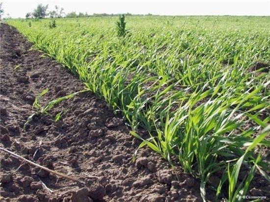 Розвиток ярих зернових може затриматися на 5-7 діб фото, ілюстрація
