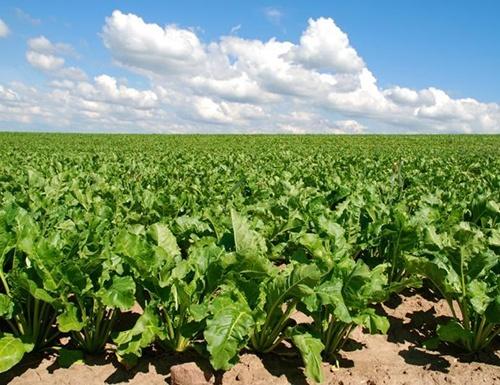 Украина в 2019 валовой урожай сахарной свеклы составит 10,7 млн тонн, - Минагрополитики фото, иллюстрация