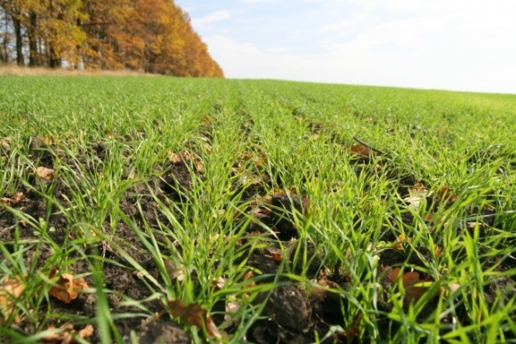 Площа посівів озимих в Україні на 8% поступається минулорічній фото, ілюстрація