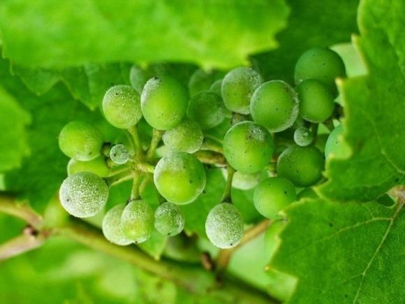 Защита винограда от грибковых заболеваний фото, иллюстрация