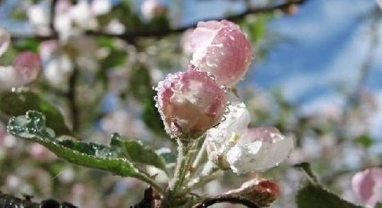 Наслідки заморозків садівники будуть відчувати ще кілька сезонів фото, ілюстрація