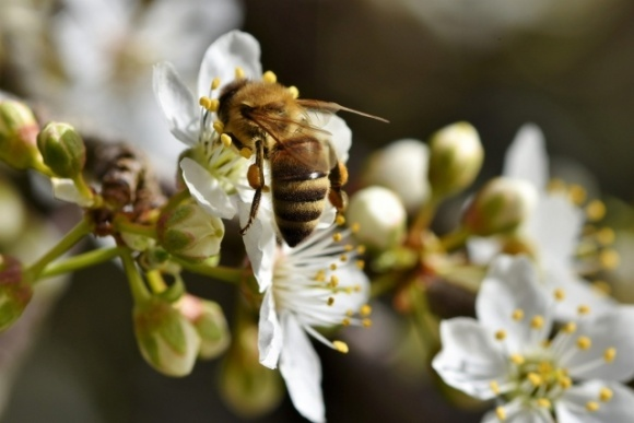 Американские пчеловоды на опылении зарабатывают $700 млн ежегодно  фото, иллюстрация