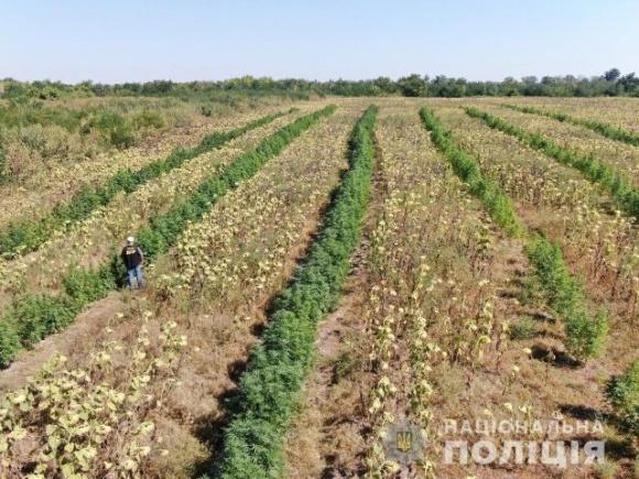 У Запорізькій області на полі соняшника виявили багатомільйонну плантацію конопель фото, ілюстрація