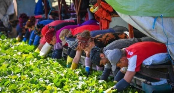В Европе некому собирать фрукты фото, иллюстрация