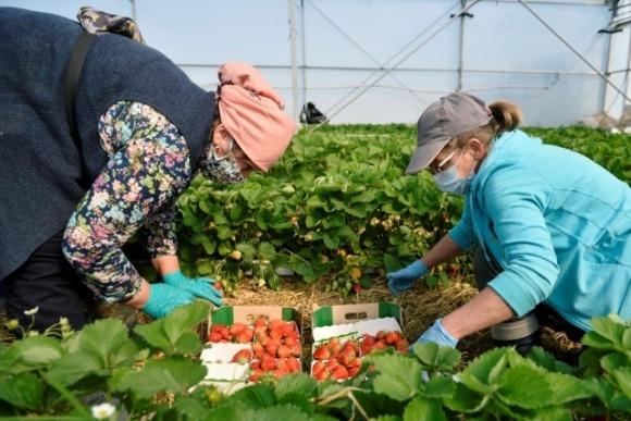 Серед українських сезонних с/г працівників, які нещодавно прибули до Естонії, у трьох виявили коронавірус фото, ілюстрація
