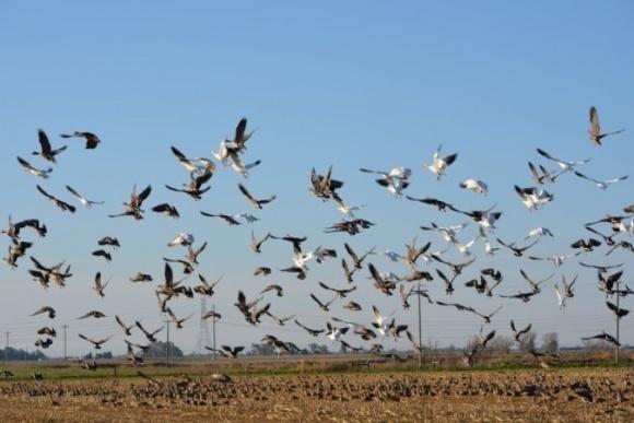 От птиц на полях спасут репелленты нового поколения фото, иллюстрация