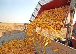 ДПЗКУ розпочала приймання кукурудзи врожаю 2018 року фото, ілюстрація