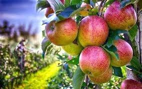 Німецька ферма безкоштовно роздала 30 тисяч кг яблук  фото, ілюстрація