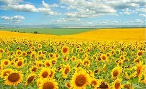 В Казахстане подсолнечник придет на смену пшенице фото, иллюстрация