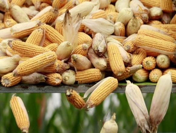 На Днепропетровщине планируется строительство завода по глубокой переработке кукурузы фото, иллюстрация