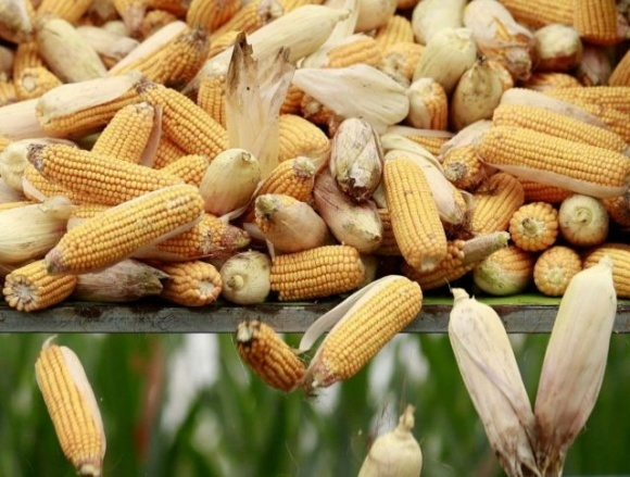 Активність укладання форвардів на кукурудзу врожаю-2021 в Україні зашкалює, — Risoil фото, ілюстрація