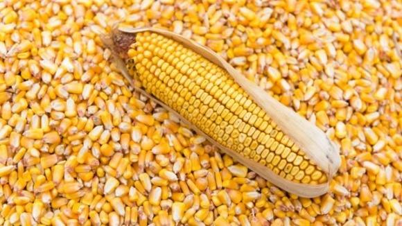 Ограничение экспорта кукурузы из Украины на уровне 24 млн тонн не повлияет на внутренние и мировые цены фото, иллюстрация
