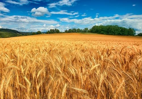 Врожай зернових в Україні може вирости до 70.8 мільйонів тон, - Мінагрополітики фото, ілюстрація