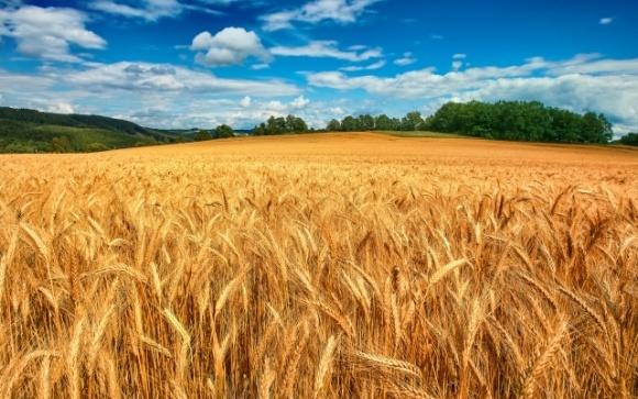 Украина может вдвое увеличить урожайность пшеницы — эксперт фото, иллюстрация