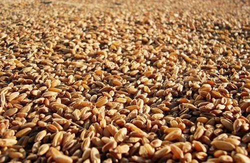 Страны Причерноморского региона ежегодно генерируют более 10% мирового производства зерновых фото, иллюстрация