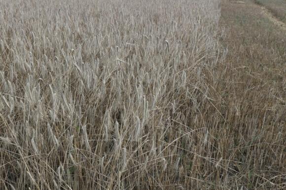 Украина в этом году наконец может собрать 100 млн т зерновых и масличных, — УЗА фото, иллюстрация