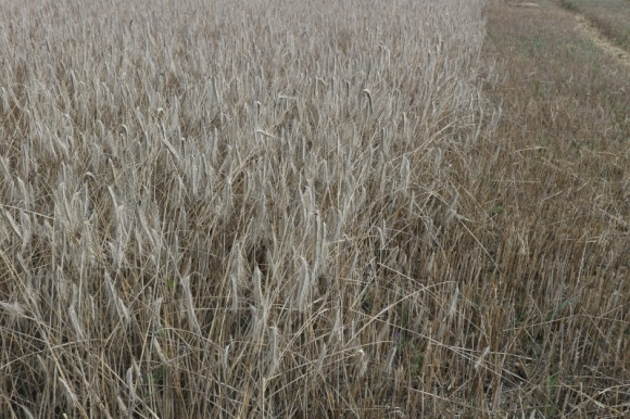 Мінекономіки знову знизило прогноз урожаю зернових фото, ілюстрація