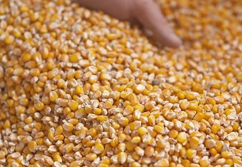 После полуторамесячного снижения, цена на кукурузу в портах Украины начала расти фото, иллюстрация