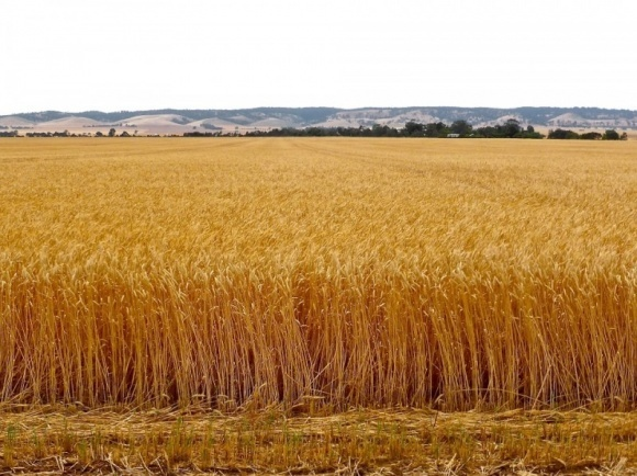 В окупованому Криму не хочуть вивозити зерно на материк фото, ілюстрація