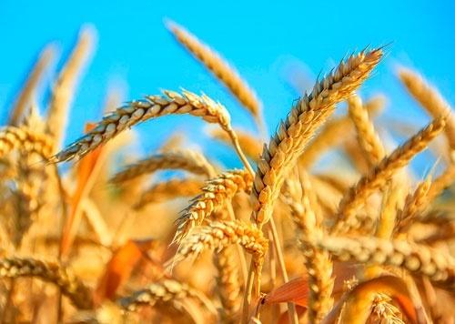 В Украине в начале октября погодные условия притормозили рост и развитие всходов озимых фото, иллюстрация