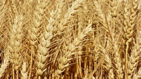Мировое производство зерна вырастет до рекордного уровня — прогноз ФАО  фото, иллюстрация