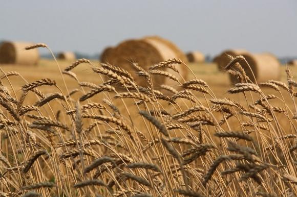 В Украине к 1 июля урожай зерновых и зернобобовых превысил 5 млн. тонн – Госстат фото, иллюстрация