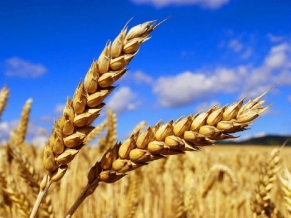 Украинская пшеница дорожает на фоне планов России ввести квоты фото, иллюстрация