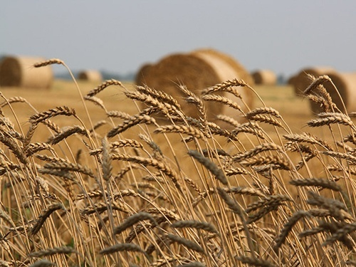Аграріями Сумської області обмолочено 30% площ ранніх зернових фото, ілюстрація